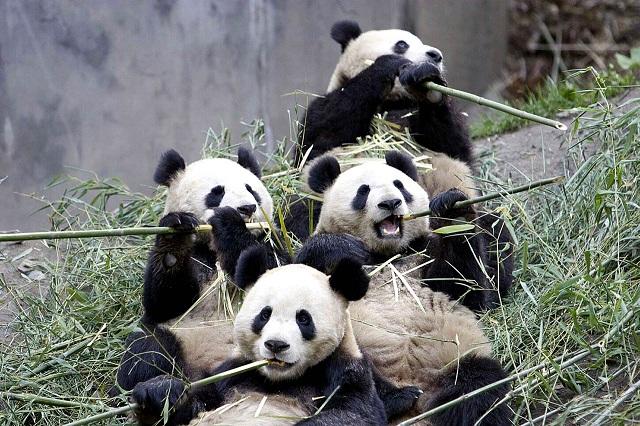 giant-panda-wallpaper-1