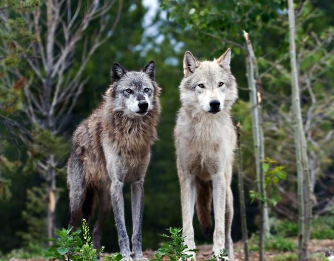 stire-31-mar-lupi